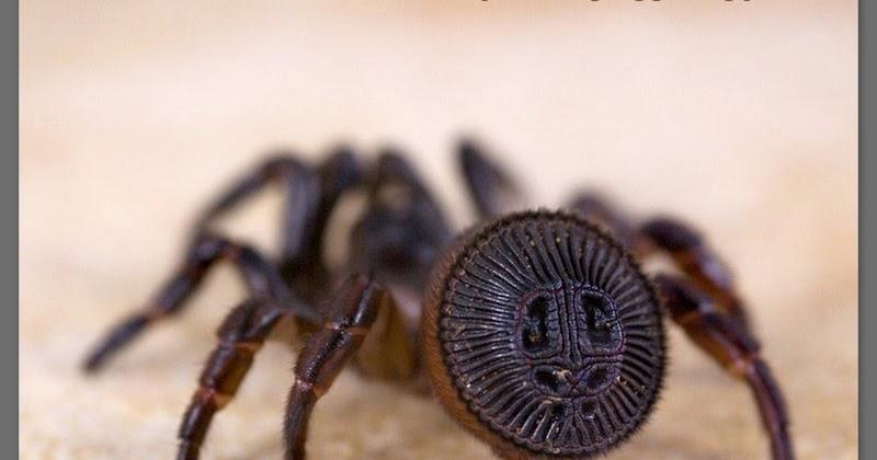 cyclocosmia-ricketti-spider-orumcegi-nedir